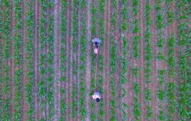 小暑时节农事忙 聊城农民起早抢农时