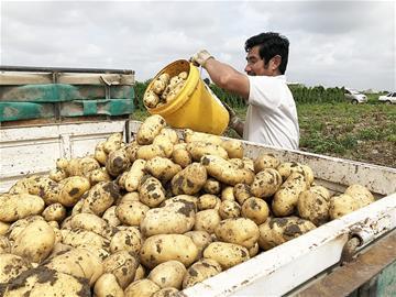 亩产9.58吨 平度土豆创造世界纪录