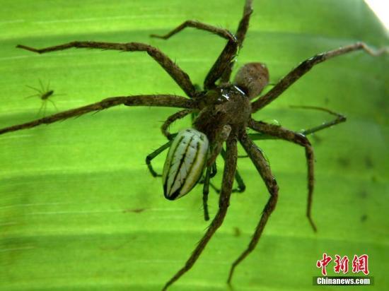 """研究:蜘蛛借助大气电场""""乘气球""""飞行"""