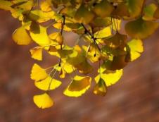 """新建1.5米宽树穴带 淄博市府东一街上的银杏树有了""""窝"""""""