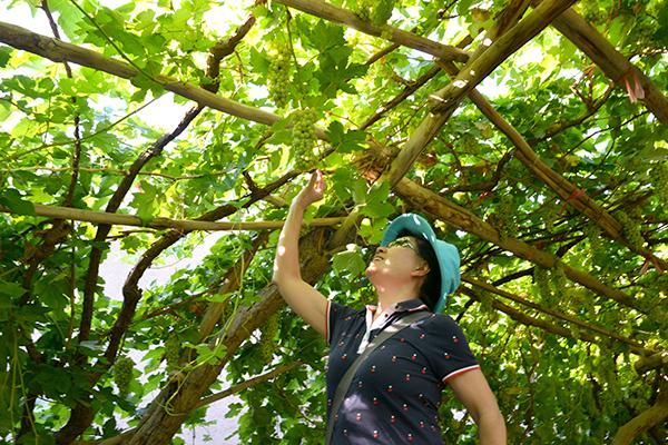 42  葡萄沟的葡萄已经挂果了