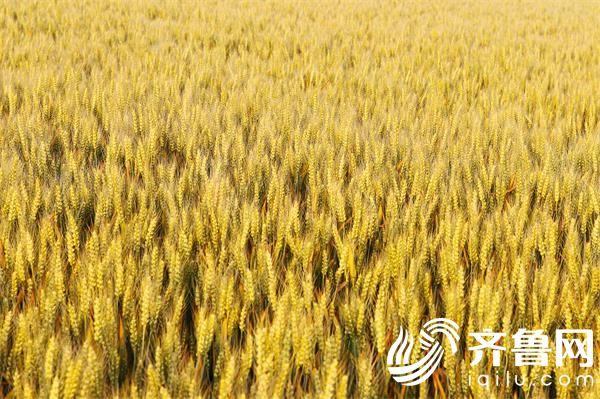 小麦试验田