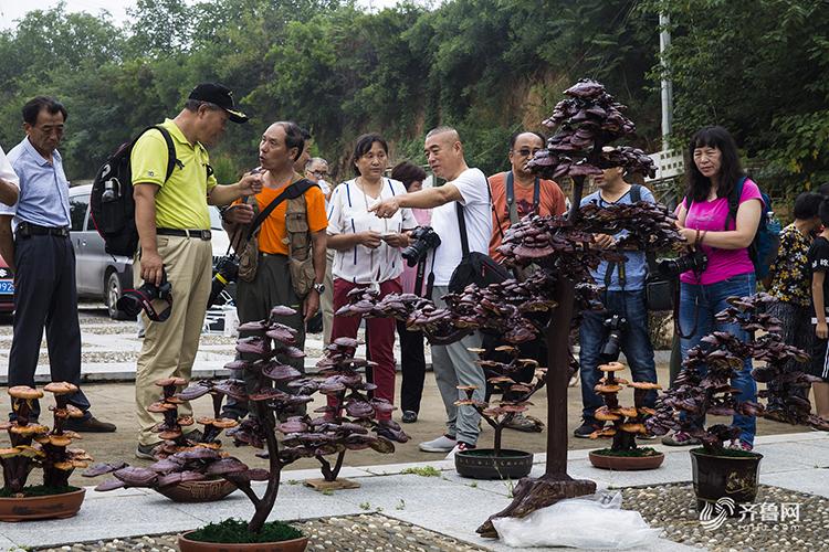 济南:孔村灵芝做盆景 吸引市民围观