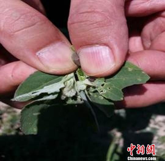 内蒙古750万亩土地爆发草地螟虫害 为近38年来最严重