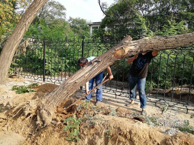 济南工业北路歪倒的大树被锯掉,已无挪移价值