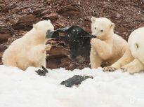 挪威:北极熊误把塑料当食物 志愿者上岛清理垃圾