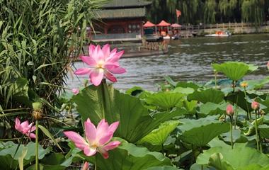 济南高温天难挡市民热情 大明湖畔赏荷拍照
