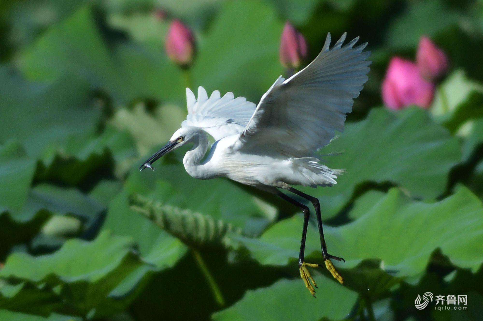 青岛:成群白鹭落户荷塘 共舞盛夏光年