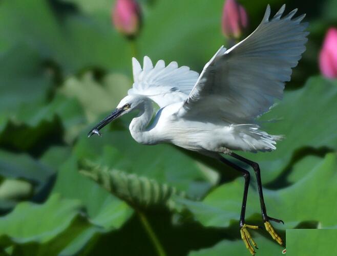 李村河白鹭飞舞栖息 尽显荷塘生态美