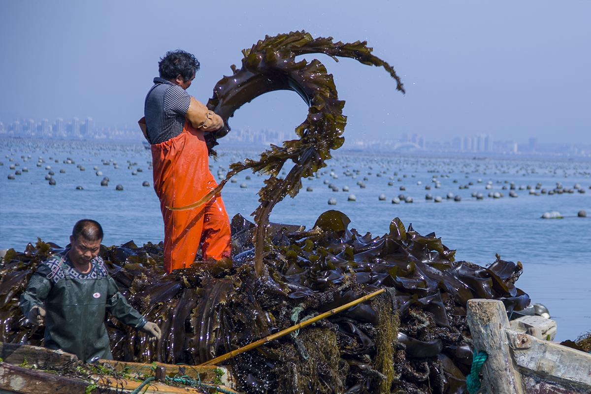 """拾城记丨组图!镜头下的渔民人与海带 为""""海带人""""点赞"""