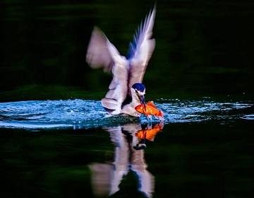 大明湖清晨夜鹭倩影优雅迷人 宛如水中仙子