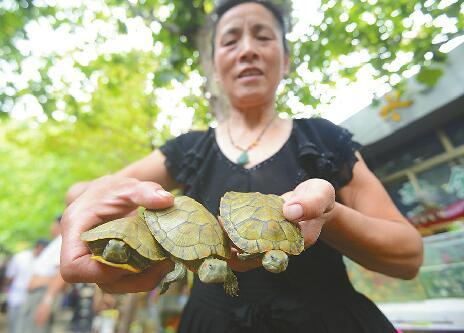 """巴西龟""""霸占""""公园景观湖 属世界最危险百种外来入侵物种之一"""
