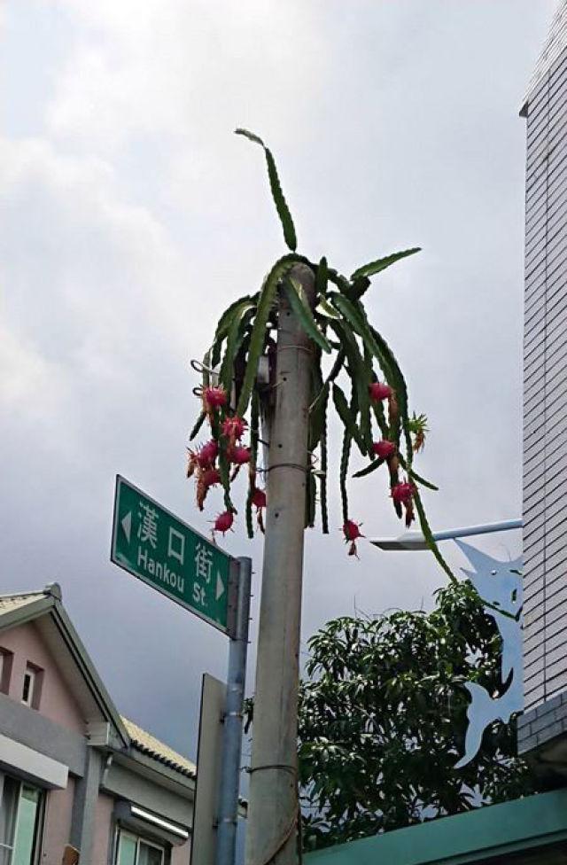 """台湾一电线杆""""长出""""火龙果 原因竟然是这个"""