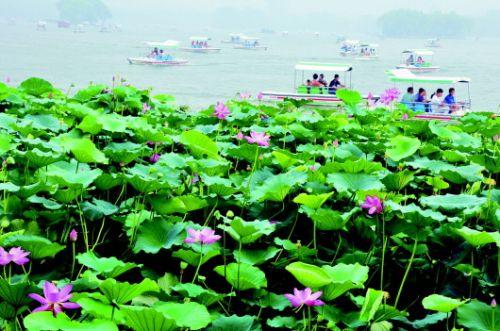 """""""山东济南市民朋先生常去大明湖边,荷花原本是他在夏天最爱拍摄的素材"""