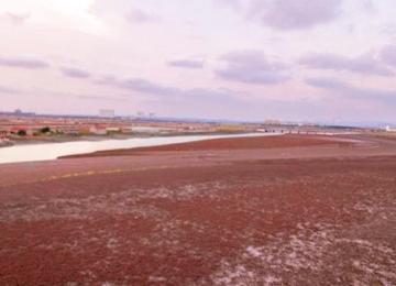 """昌阳河岸铺上了""""红地毯"""""""