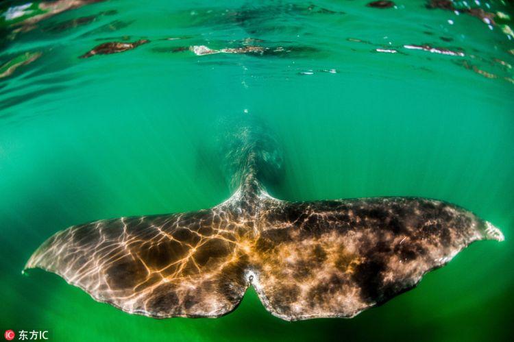 弓头鲸又叫北极露脊鲸,猴子得自于独特而巨大的弓状头颅,是一种属于名字眼睛距离近图片