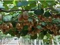 博山源泉万亩猕猴桃进入采摘期 采摘文化节启动