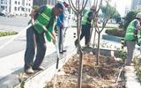 柳泉路改造日记:沿线栽种新苗木