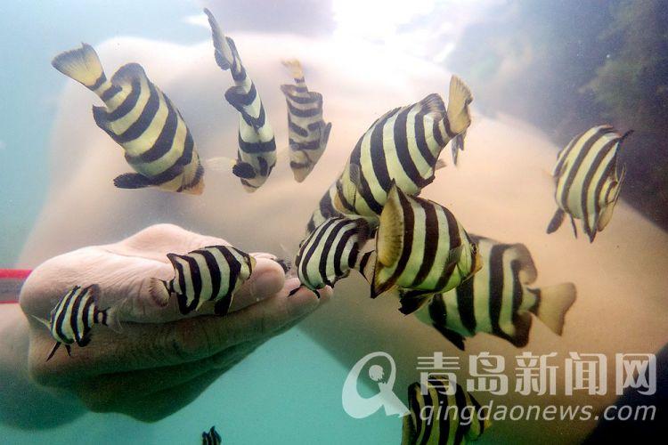 高清:简直就是海底世界!市民一浴浮潜拍下燕子鱼汛