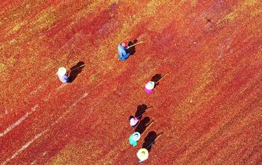 沂蒙山区的酸枣红了!农民上山忙采摘晾晒