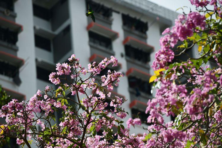 新加坡风铃木花盛开
