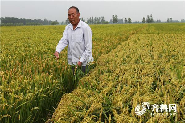 郯城:40亩水稻减产近1/3 问题种子来源成谜