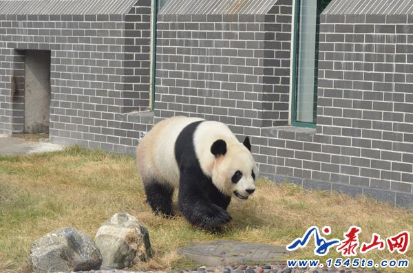 """大熊猫""""武俊""""11周岁生日,旅居泰安首个生日是这样过的"""