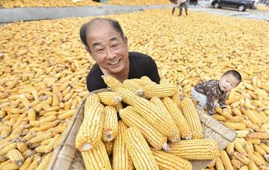 聊城农民金秋收获忙 玉米花生大枣相继丰收