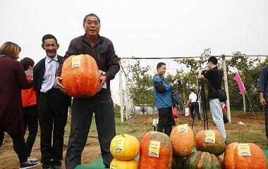 泰安农民刨地瓜、赛南瓜共庆首届农民丰收节