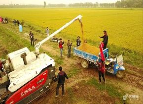 济南黄河水稻开始收获 金色田野美丽动人