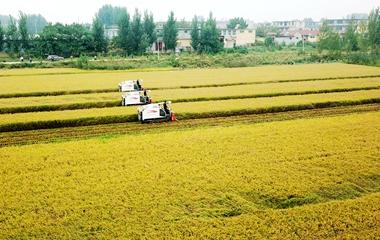 济南万亩黄河水稻喜获丰收 金色田野美丽动人