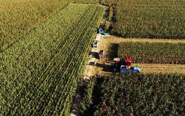 晒·秋   邹平沿黄生态农业示范区红高粱喜获丰收