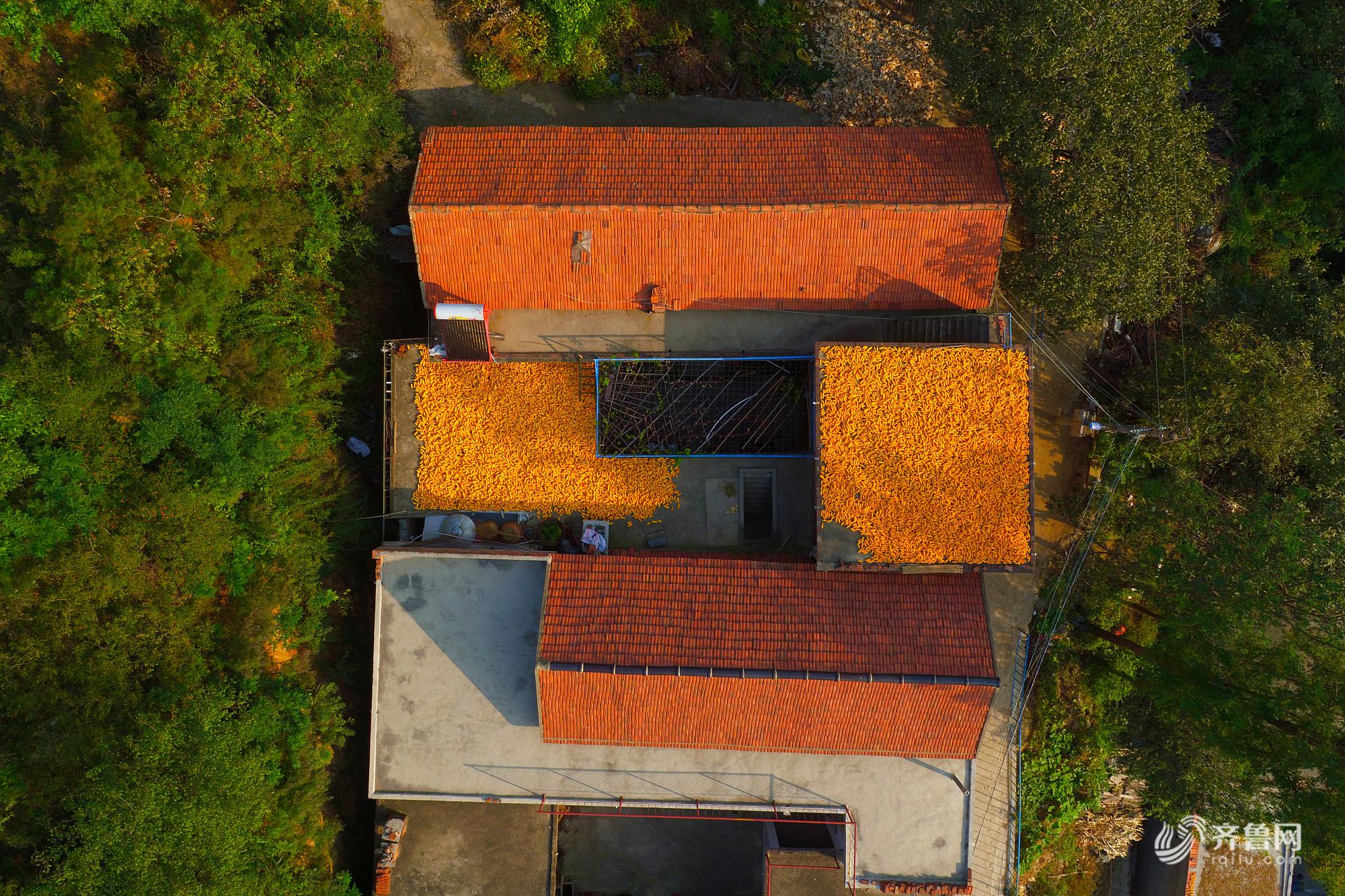 章丘山区农民屋顶晒秋 色彩斑斓似天然画作