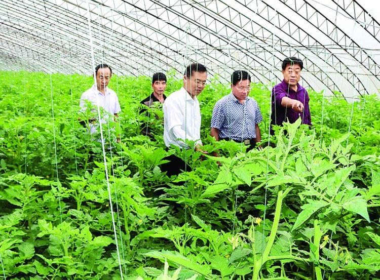 省蔬菜专家来莱芜市指导西红柿TY病毒防治工作