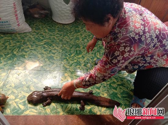 """临沂市民小区绿化带捡到""""娃娃鱼"""" 咋会出现在这里"""