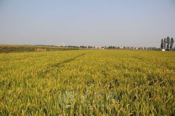 滕州市级索镇千亩优质旱稻丰收在即(图)