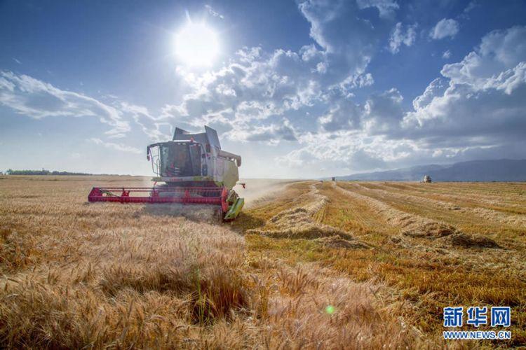 新疆昭苏:麦浪滚滚 机器轰鸣