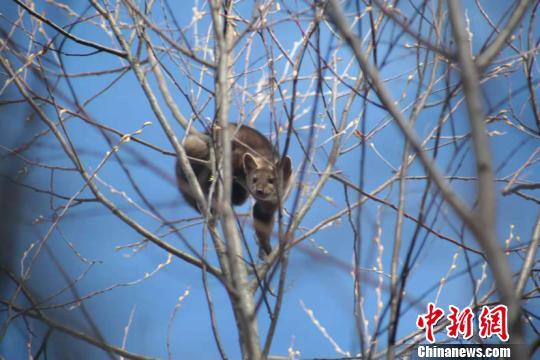 """""""中国最北村镇""""发现国家一级保护动物紫貂 系20年来首次"""