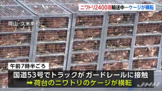 运送2400只鸡的卡车途中鸡笼倾翻 日本警察马路边上演抓鸡大战