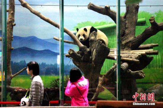 台北大熊猫圆仔长大变稳重:爬树不再拆光枝叶