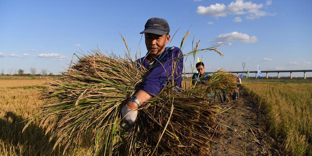 """""""海水稻""""熟了!青岛城阳上马稻作改良示范基地迎来收割测评"""