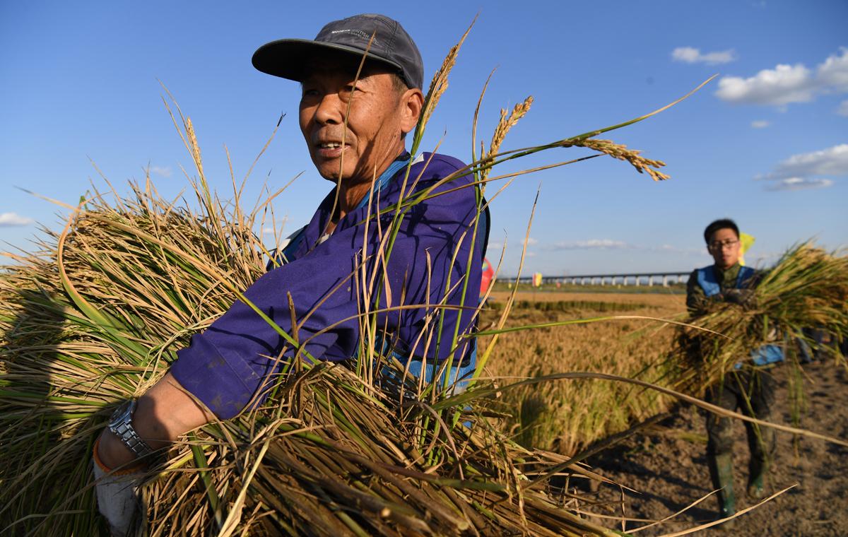 """盐碱地变良田!青岛""""海水稻""""全国试种迎来大范围收割测产"""
