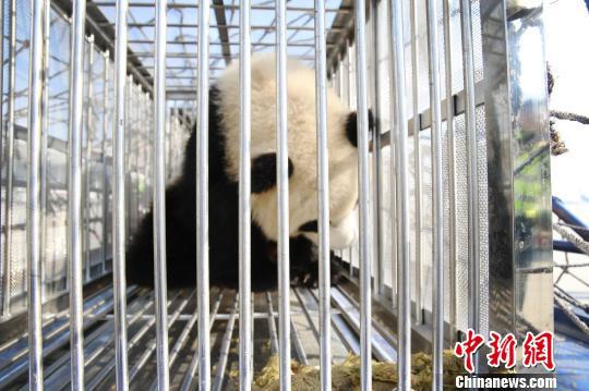 """国宝熊猫伴侣成都搭机抵郑 开启三年""""中原行"""""""