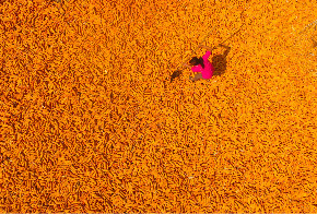 晒·秋丨丰收又闻玉米香 山东聊城农民喜迎秋收