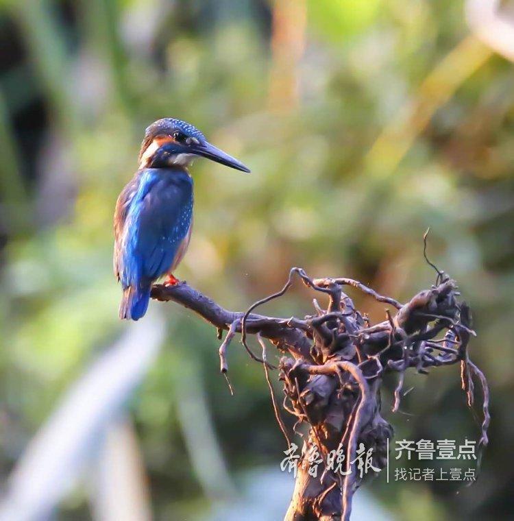 大明湖畔美丽的小翠鸟,捕鱼那叫一个快