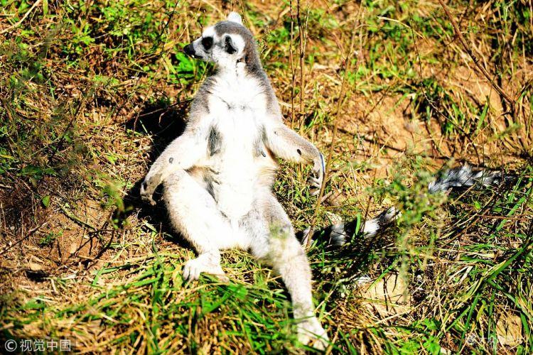 金秋暖阳有点萌!环尾狐猴打坐晒太阳