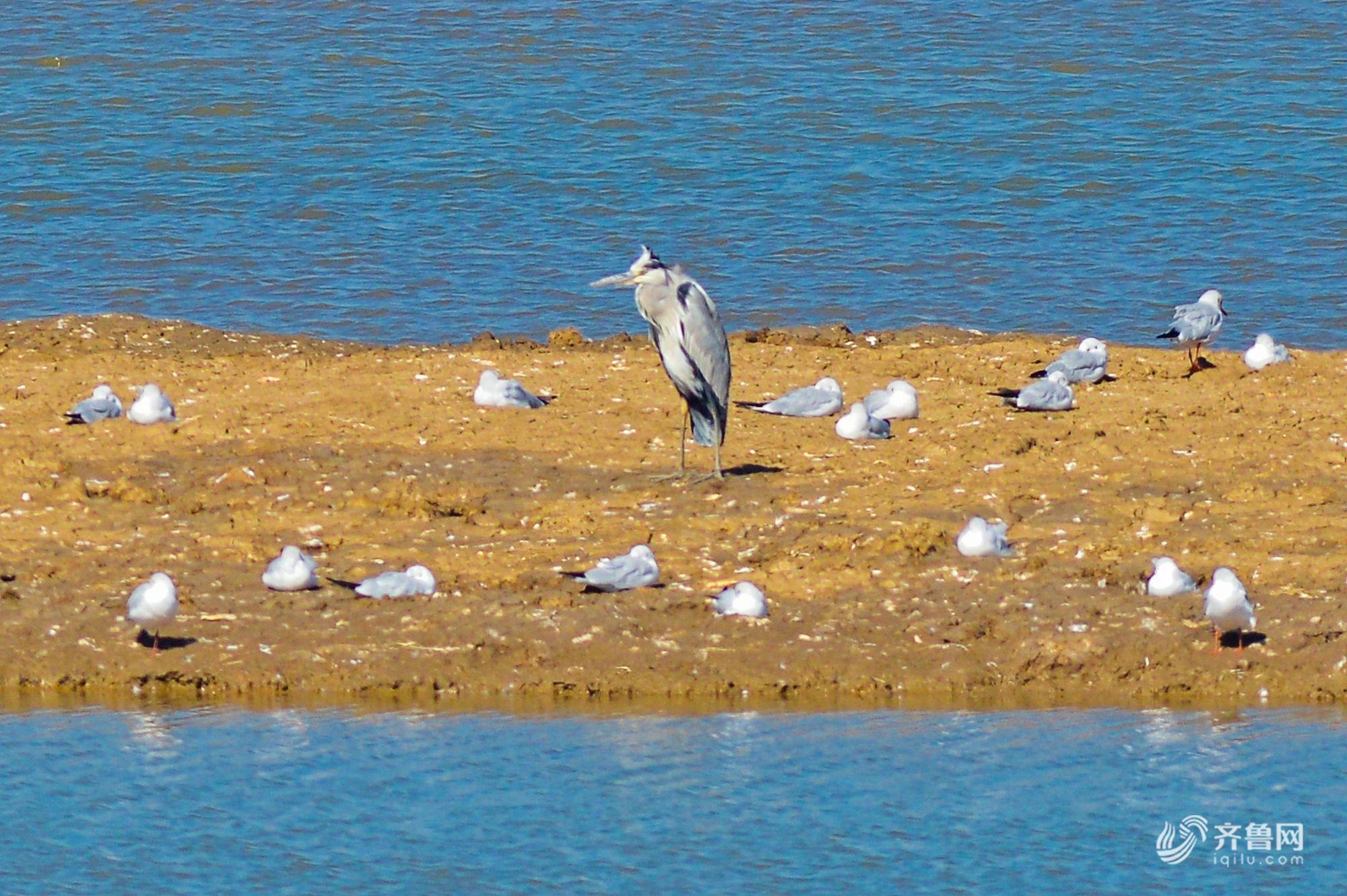 海鸥携带成群幼鸟回迁青岛 在胶州湾湿地栖息觅食
