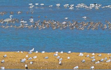 海鸥携成群幼鸟回迁青岛 在胶州湾湿地栖息觅食