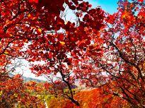 沂源县凤凰山漫山红叶色彩斑斓 景色万千醉金秋
