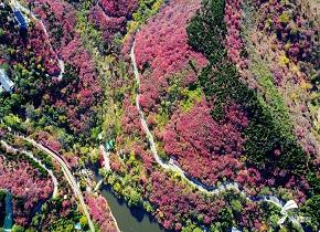 济南红叶谷进入最佳观赏期 俯瞰满山红色热情如火
